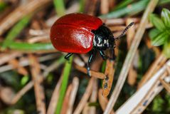 Macro photo of a beetle with red. stock photo