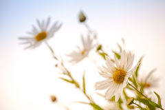 Macro photo of big white daisies Royalty Free Stock Photography