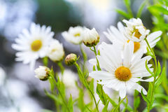 Macro photo of big white daisies in the garden Stock Photos