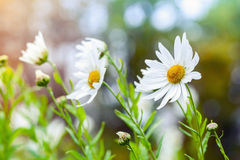 Macro photo of big white daisies in garden, toned effect Stock Photography