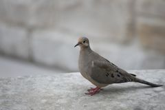 Beautiful ,colorful closeup of a mourning dove stock photos
