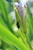 Black Ant Stock Photos