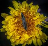 Macro Photo of Black Blister Beetle on Yellow Flower stock photo