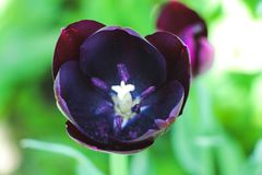 Black tulip Stock Photography