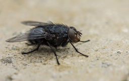 A macro photo of a Blue-bottle fly on a stone Background. A macro or close-up photo of a Blue-bottle fly on a stone Background Stock Images