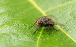 A macro photo of a Blue-bottle fly on a green leaf Stock Image