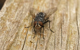 A macro photo of a Blue-bottle fly on a wood Background Royalty Free Stock Photos