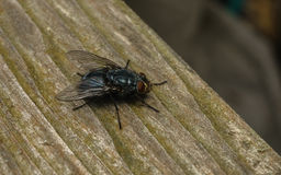 A macro photo of a Blue-bottle fly on a wood Background Stock Photo