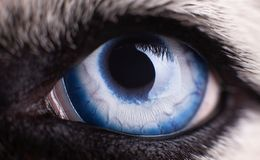 Macro photo of blue eye Siberian Husky dog. Close up blue eye stock images