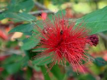 Macro photo of bright beautiful unusual red flower of Albizia or Lenkoran acacia or silk tree Stock Photo
