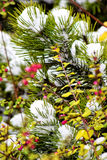 Macro photo. Bright green needles of the pines are covered with snow. Winter, but the leaves are still green and the berries red Royalty Free Stock Photo