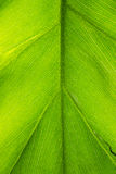 Macro Photo of a Bright Green Tropical Plant Leaf Royalty Free Stock Image