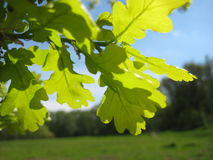 Macro photo with bright green young leaves of the Oak tree on blurred landscape background Stock Photo
