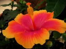 Macro photo with a bright Hibiscus flower with petals of orange and crimson color shades on a background of green foliage. Ornamental Park landscape as the Stock Photography