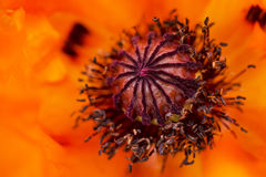 Macro Photo of a Bright Orange Poppy Flower Stock Images
