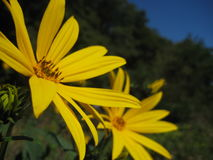 Macro photo of bright wild flowers yellow Daisies on a blurred background of green vegetation Stock Photography