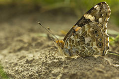 Macro photo brown butterfly Vanessa cardui sitting on ground summer day. Portrait Painted lady butterfly or Cosmopolitan butterfly. Macro photo brown butterfly Royalty Free Stock Images