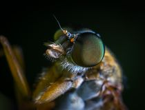 Macro Photo of a Brown Fly Royalty Free Stock Photo