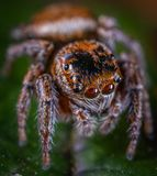 Macro Photo of Brown Jumping Spider on Green Leaf royalty free stock photography