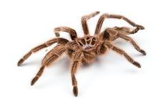 Macro photo of brown spider`s molt Stock Photo