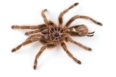 Macro photo of brown spider`s moult Stock Images