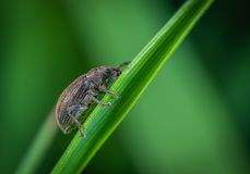 Macro Photo of Brown Weevil Perched on Green Leaf stock image