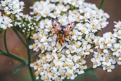 Macro photo of bug or beetle insect on white flower, wildlife in nature concept Stock Photography