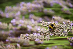 Macro photo of bumble-bee and purple lavender flowers Stock Photo