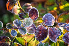 Macro photo. Bush with bright green leaves. Macro photo. Bush with bright green leaves covered with frost. Bright winter sun shines Royalty Free Stock Photography
