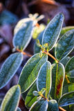 Macro photo. Bush with bright green leaves. Macro photo. Bush with bright green leaves covered with frost. Bright winter sun shines Stock Image