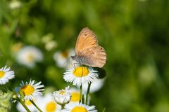 Macro photo of a butterfly close-up. A butterfly sits on a flower. The moth sits on a flower and drinks nectar. A photo of a moth Royalty Free Stock Photography