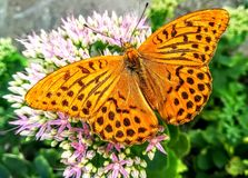 Butterfly on flower in an open environment. Macro photo, Butterfly on flower in an open environment, orange color stock photography