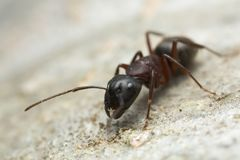 Carpenter ant, Camponotus on wood Stock Photography