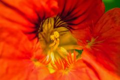Macro photo of center of the flower and pistil and stamen. Abstract and psychedelic macro photo of center of the flower and pistil and stamen stock photography