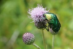 Macro photo of Cetonia aurata or the chafer. royalty free stock photography