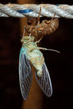 Macro photo of cicada (Tibicen pruinosus) Royalty Free Stock Photography