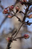 Macro photo. clear winter day and blooming buds on the branches of trees on a clear blue sky. Royalty Free Stock Photo