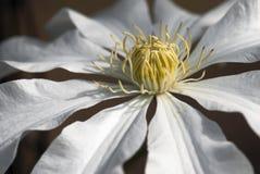 Macro photo of clematis armandii flower Stock Photos