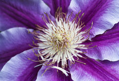 Macro photo of Clematis Nelly Moser flower Stock Photo