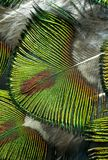 Macro Photo of Colorful Green Peacock Feathers. Stock Photo