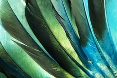 Native American Indian duck feathers detail. This is a macro photo of colorful turquoise and green Native American Indian feathers from a costume. I used Royalty Free Stock Photos