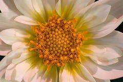 Macro photo d'un dahlia blanc Images stock