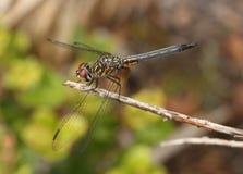 Macro photo d'un dragon flly Photos libres de droits