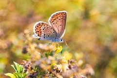 Macro photo d'un plan rapproché de papillon Un papillon se repose sur une fleur La mite se repose sur une fleur et boit du nectar photos stock