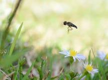 Macro photo d'un vol de mouche de fleur au-dessus de petites marguerites photo stock