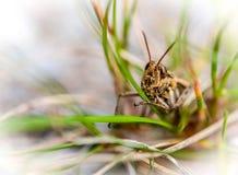 Macro photo d'une sauterelle ou d'un cricket sur la lame de l'herbe Image stock