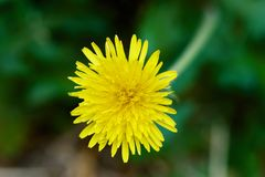 Macro photo of a dandelion flower illusion or reality. royalty free stock photography