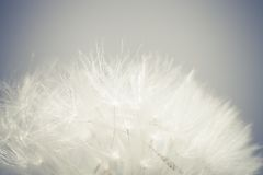 Macro photo dandelion seeds. Stock Photos