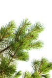 Macro photo de branche de pin d'isolement Images libres de droits