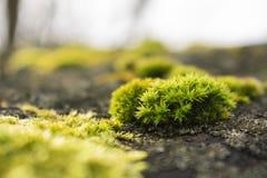 Macro photo de croissance de mousse au printemps, fond vert de nature photographie stock